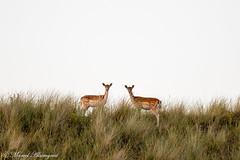 Symmetrical deer (Kenjirio) Tags: summer animals wildlife zomer zandvoort amsterdamse 2016 waterleidingduinen waternet