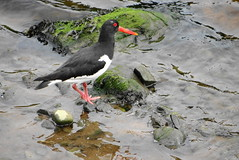 Oystercatcher (Ian Jackson 1974) Tags: red white black eye water birds scotland rocks beak feathers aberdeen oystercatcher ripples clearwater riverdee 2016 wader