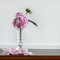 Fading (Hilary Causer) Tags: pink stilllife flower fall glass rose petals decay interior domestic fallen squareformat vase droop wilt