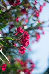 Oleander Bokeh (lordspark80) Tags: flora minolta rokkor 50mm 14 bokeh pornbokeh bokehporn porn fiori flowers oleandro oleander bouquet