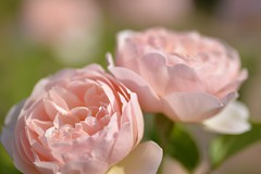 Rose ' The Shepherdess' raised in UK (naruo0720) Tags: macro rose bokeh   englishrose     theshepherdess