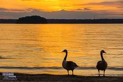 Sunset Geese (The Suss-Man (Mike)) Tags: sunset sky lake bird nature water animal clouds georgia geese unitedstates goose lanier lakelanier week25 hallcounty flowerybranch thesussman oldfederalpark sonyslta77 sussmanimaging 52in2016 themesunriseorsunset