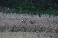 Chevreuils (Cognacpomme (17 souche 44) ) Tags: nature cereales chevreuil ble