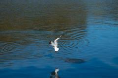 IMG_4980 (gsreejith) Tags: bird water silvergull birdfishing