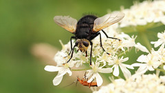 """Join me, and together we can rule the galaxy as father and son""... (Cosper Wosper) Tags: starwars somerset levels westhay tachinagrossa gianttachinidfly"