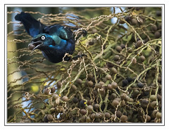 Splendid Glossy Starling - Lamprotornis acuticaudus (Crested Aperture Photography) Tags: commonstarling ggaba uganda ug crestedaperturephotography greatnature crestedaperture bird birds aves oiseaux lamprotornisacuticaudus splendidglossystarling uccello uccelli pssaro