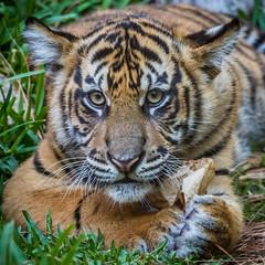 My Bag! (ToddLahman) Tags: baby canon teddy tiger nelson tigers sumatrantiger joanne safaripark canon100400 tigercub babytiger tigertrail sandiegozoosafaripark babysumatrantiger canon7dmkii