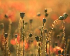 Poppy head blur (Sue MacCallum-Stewart) Tags: nature sunrise brighton seeds poppies wildflowers poppyheads