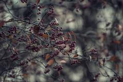 chokeberry (amy buxton) Tags: autumn wild plants fall nature strange garden dark botanical photography weird scary berry photographer darkness natural stlouis dream surreal creepy depression disturbing dreamlike depressing chokeberry nativemissouriplant amybuxton