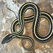 Common Gartersnake