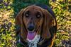 Gotcha! (Jam Photography & Digital Art) Tags: dog sun sunlight nature animal prom bassethound liara