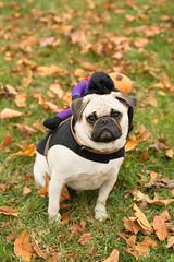 Brutus's 2nd Halloween (Purple Panda13) Tags: dogs halloween nikon pug d800 nikond800