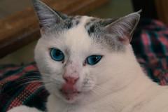Kitut (santicord) Tags: pet cat feline blueeyes kitty purrfect