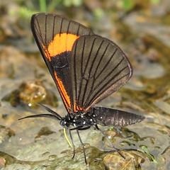 Moth (Camerar) Tags: insect ecuador moth lepidoptera