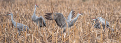 SHC 6 (Jan Crites) Tags: autumn bird fall nature october wildlife indiana cranes migration sandhillcranes fallmigration jasperpulaskifishandwildlifearea jancritesphotography