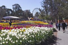 View towards Ferris Wheel (oz_lightning) Tags: people flower building nature garden australia canberra aus act australiancapitalterritory commonwealthpark canonef50mmf18ii canon6d