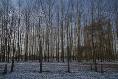 W99A3996 (J. Cahn) Tags: trees winter snow tree nature canon holocaust poland 5d canon5d auschwitz canondslr workcamp birkenau concentrationcamp deathcamp auschwitzbirkenau exterminationcamp canon5dmarkiii 5dmk3 5dmarkiii 5dm3 5dmark3 canon5dmark3 5dmiii canon5dm3 meorpoland