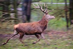 Rothirsch 01 (grasso.gino) Tags: nature animals speed zoo tiere stag natur running rennen dortmund reddeer hirsch geschwindigkeit rothirsch