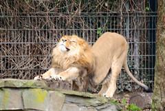 Löwe 33 (grasso.gino) Tags: nature animals zoo tiere natur lion mighty dortmund löwe mächtig