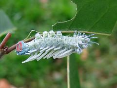 Attacus atlas (Larva, Stage 5) (Lepsibu) Tags: saturniidae
