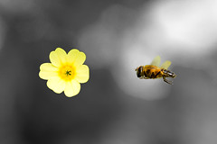 Spring friends (Arno M.D.C. Burg) Tags: flower macro blume hoverfly komposition schwebfliege canonef100mmf28lmacroisusm canoneos70d