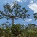 Árvores gigantes