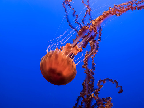 Black sea nettle by amitp, on Flickr
