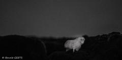 Au detour d'un coin (misterblue66) Tags: bw death noiretblanc zombie mort bn lamb campagne mouton d3200 audtourduncoin