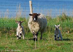 Memories of Spring past (muppet1970) Tags: grass animal suffolk spring sheep farm lamb yew livestock