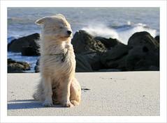 Vom Winde verweht (BegMeil44) Tags: vent brittany wind bretagne breizh begmeil bergerdespyrnes labrit gripik pyrenenhtehund