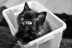 #36: Mmmmmm...I love boxes (Random Life Project) Tags: cats animals feline kitty kittens kitties ehs adoption shelteranimals fostering edmontonhumanesociety fosteranimal