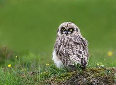 Short-eared Owl (Brandugla) 61 (sindri_skulason) Tags: shortearedowl brandugla