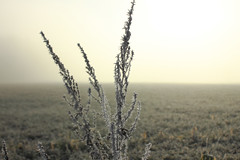 _MG_2968 (peter pirker) Tags: winter plant yellow fog canon landscape austria österreich frost nebel pflanze frosty kärnten gelb landschaft seeboden peterfoto eos550d peterpirker