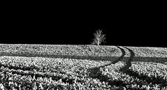 The Black and White Hour (AndyorDij) Tags: tree monochrome mono bw blackandwhite fields field oilseedrape landscape england rutland uk 2014 wingburrows andrewdejardin