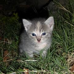 Tiny kitten (prondis_in_kenya) Tags: grass kitten kenya nairobi hide shortrains