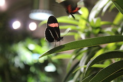 Butterfly (Mandy Canhestro) Tags: usa nature butterfly colorfull insects borboletas insetos tropicais naturesa