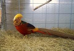 Rainbow Pheasant (queenmelres) Tags: bird birds rainbow pheasant hay rainbows pheasants