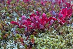 Flora at Lofoten (Delphinidaesy) Tags: norway fuji lofoten x10 noorwegen nordland tranya