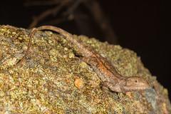 Common Nobbi Dragon (R. Francis) Tags: qld queensland girraweennationalpark stanthorpe wallangarra ballandean nobbidragon ryanfrancis diporiphoranobbi ryanfrancisphotography commonnobbidragon