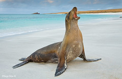 Lobo marino de las islas Galápagos (Zalophus wollebaeki) Galapagos Sea Lion. (Sergio Bitran M) Tags: ecuador galapagos lobo 2014 galapagossealion islasgalapagos zalophuswollebaek lobomarinodelasislasgalapagos