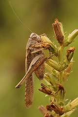 Platycleis species (henk.wallays) Tags: france macro nature closeup insect europa wildlife natuur location cricket grasshopper date insekt orthoptera tettigoniidae arthropoda insecte sauterelle aaaa sprinkhaan cevennes 2014 insecta bushcricket longhornedgrasshopper sprinkhanen katydids toid rousson sabelsprinkhaan tettigoniid bushcrickets platycleis orthoptères sabelsprinkhanen henkwallays 201408 platycleisspecies
