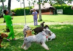 Aqui vamos por la pelota (Dogs Resort Pereira) Tags: perros petit pereira manada juegodepelotas fotosdeperros hotelparaperros dogsresort guarderaparaperros colegioparaperros guarderacampestreparaperros hotelcampestreparaperros colegiocampestreparaperros perrosjugandopelota