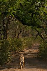 ADS_0000104037 (dickysingh) Tags: wildlife tiger tigers ranthambore indianwildlife ranthambhorenationalpark