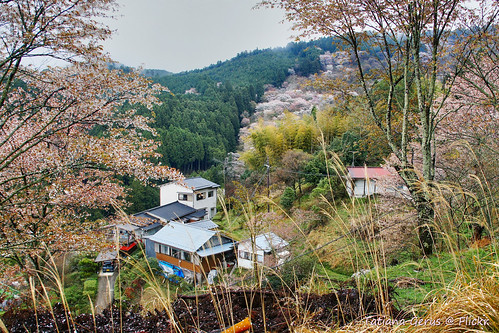 Yoshinoyama houses in spring