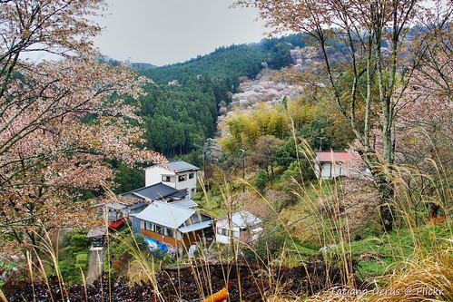 Yoshinoyama houses in spring