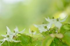 Kousa dogwood (snowshoe hare*) Tags: flowers botanicalgarden  kousadogwood dsc0919 japanesefloweringdogwood