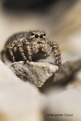 Hypnose (Benji Pictures) Tags: spider aelurillus salticide salticidae jumpingspider macro canon 70d closeup