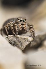 Hypnose (Benji Pictures) Tags: spider aelurillus salticide salticidae jumpingspider macro canon 70d closeup