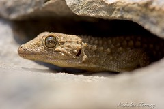 Moorish Gecko (Nicholas Ferrary) Tags: sunlight macro nature nikon wildlife lizard limestone 105 gibraltar lizards reptiles geko straitsofgibraltar nikon105 d810 nikond810 d300s moorishgeko nikond300s gibraltarwildlife nicholasferrary d800e nikond800e