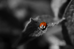 Living in a dark world (DrQ_Emilian) Tags: light red bw orange detail macro nature animal closeup bug bokeh ladybug dots tier colorkey smal